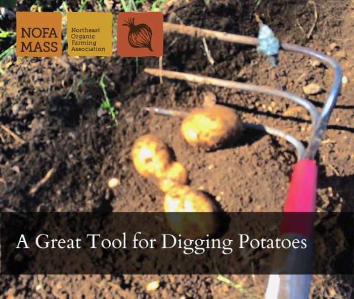 Sideways pitchfork or garbage fork digging potatoes