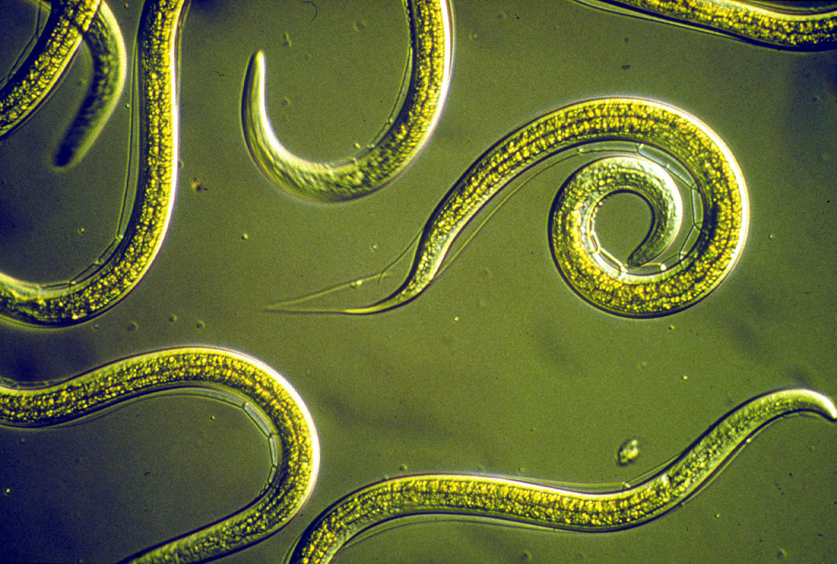 Group_of_Nematodes.jpg