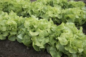Rows of green lettuce in a garden