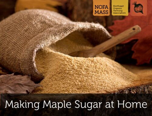 Making Maple Sugar at Home