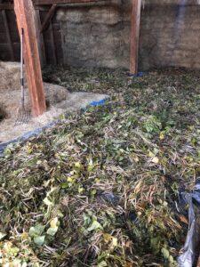 Drying bean plants on a tarp