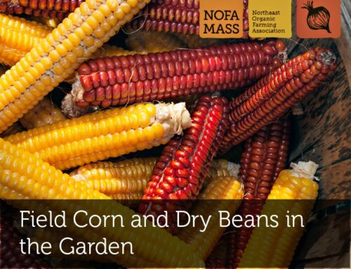 Field Corn and Dry Beans in the Garden: Staple crops to feed your family and community