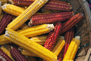 Dried ears of yellow and red corn on the cob