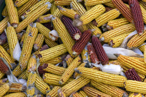 Dried ears of yellow corn and a few ears of red corn