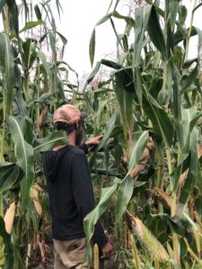 A man standing in between rows of very tall corn