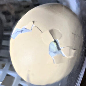 An egg with a crack running horizontally from a hatching chick inside