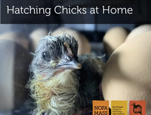 Hatching Chicks at Home