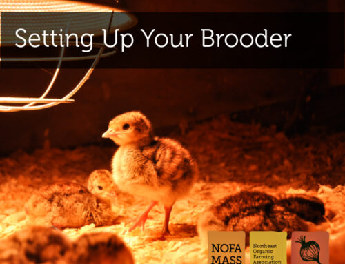 Setting Up Your Brooderand Caring for Juvenile Poultry