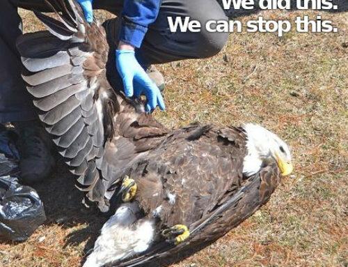 New Bill to Address Eagle Poisoning… (Keep) Calling Legislators