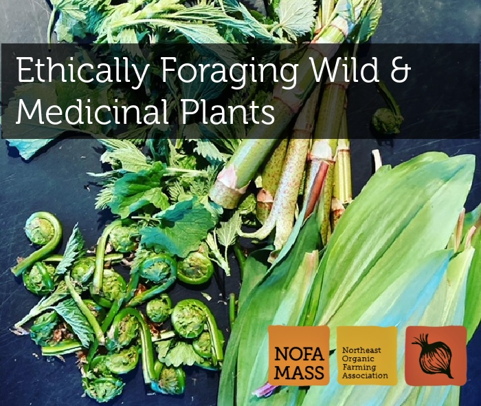 fiddleheads, knotweed, ramps and nettles