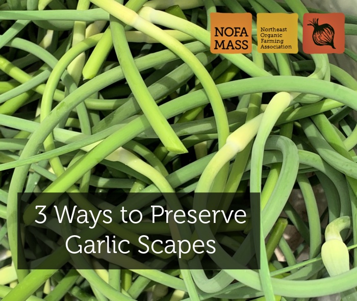 curly green garlic scapes