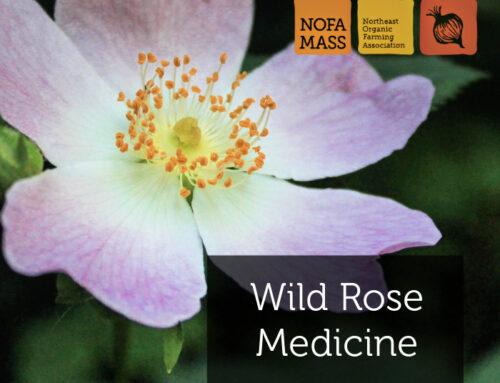 Wild Rose Medicine*