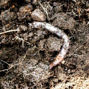 An earthworm in soil