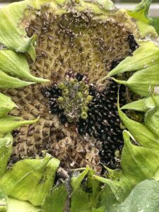 A sunflower head that is not quite dry, with seeds missing from bird foraging