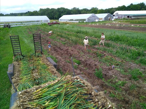 Harvesting Garlic onto a large flatbed trailer